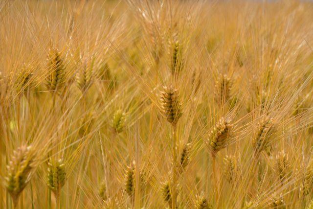 丹羽SODの成分の元となっている小麦